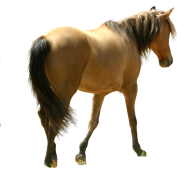 Horse PNG Free Image Download 13