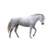 Horse PNG Free Image Download 15