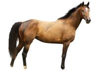Horse PNG Free Image Download 3