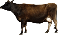Indian Cow Png