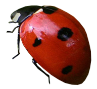 Lady bug PNG Free Download 2