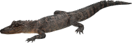 Lean Crocodile Png