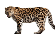 leopard PNG Free Download 1