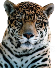 leopard PNG Free Download 10