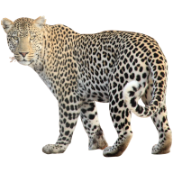 leopard PNG Free Download 12