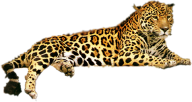 leopard PNG Free Download 13