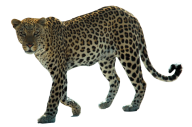 leopard PNG Free Download 15