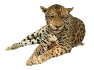 leopard PNG Free Download 16