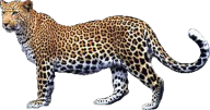 leopard PNG Free Download 17