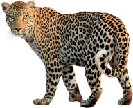 leopard PNG Free Download 18