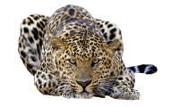 leopard PNG Free Download 19