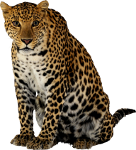 leopard PNG Free Download 2