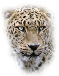 leopard PNG Free Download 20