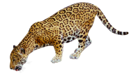 leopard PNG Free Download 21