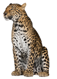 leopard PNG Free Download 24