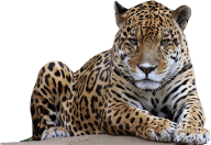 leopard PNG Free Download 25