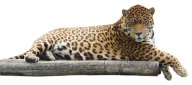 leopard PNG Free Download 26