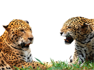 leopard PNG Free Download 27