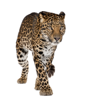 leopard PNG Free Download 30