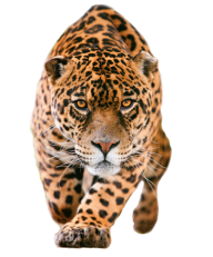 leopard PNG Free Download 6
