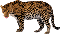 leopard PNG Free Download 9