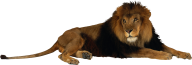 Lion PNG Free Download 1