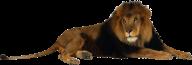Lion PNG Free Download 1