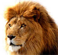 Lion PNG Free Download 10
