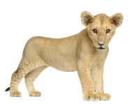 Lion PNG Free Download 7