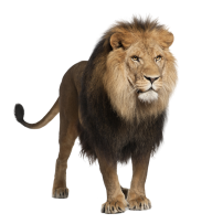Lion PNG Free Download 8