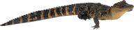 Long Tail Crocodile Png