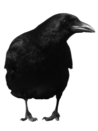 Looking Crow Png