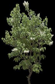 Malligai Tree Png