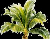 PalmTree PNG Free Download 12