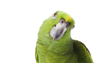 Parrot PNG Free Download 1