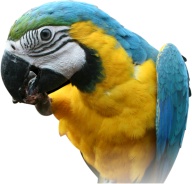 Parrot PNG Free Download 10