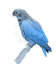 Parrot PNG Free Download 11