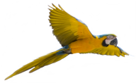 Parrot PNG Free Download 14