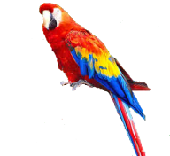 Parrot PNG Free Download 17