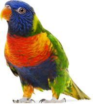Parrot PNG Free Download 18
