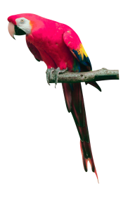 Parrot PNG Free Download 21