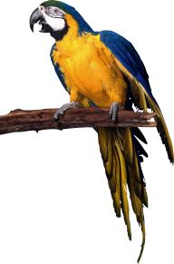 Parrot PNG Free Download 23
