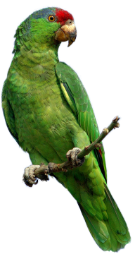 Parrot PNG Free Download 24