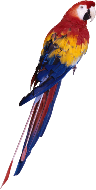 Parrot PNG Free Download 4