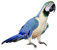Parrot PNG Free Download 6
