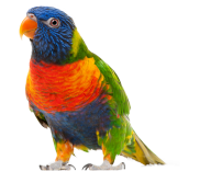 Parrot PNG Free Download 8
