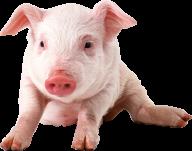 Pig PNG Free Download 1