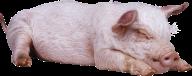 Pig PNG Free Download 10