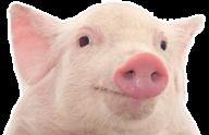 Pig PNG Free Download 11