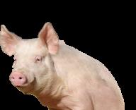 Pig PNG Free Download 12